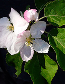 Apple blossom for 2 Apples A Day counselling services in Kelowna