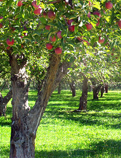 apple tree image for 2 Apples A Day counselling services in Kelowna